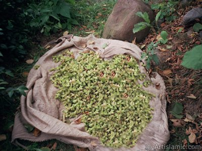 View of newly picked hazelnuts from the tree in a village of `OF district` in Trabzon city of Turkey. (The picture was taken by Artislamic.com in 2001.)