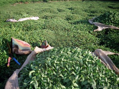 View of a field of tea and newly harvested tea leafs ready to be delivered to the tea factory in a village of `OF district` in Trabzon city of Turkey. (The picture was taken by Artislamic.com in 2001.)