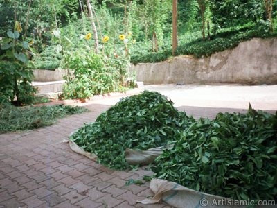 View of a garden and newly harvested tea leafs ready to be delivered to the tea factory in a village of `OF district` in Trabzon city of Turkey. (The picture was taken by Artislamic.com in 2001.)