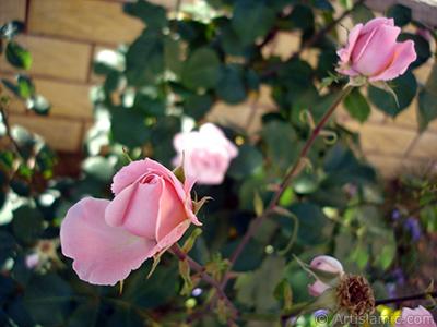 İki pembe gül resmi. <i>(Ailesi: Rosaceae, Türü: Rosa)</i> <br>Çekim Tarihi: Mayıs 2008, Yer: İstanbul, Fotoğraf: islamiSanat.net
