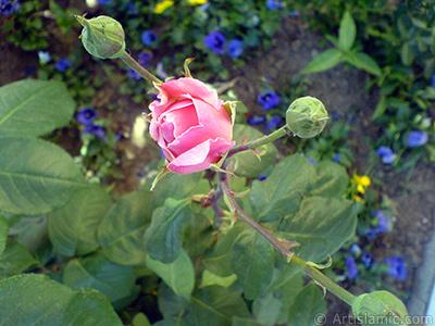 Pembe gül ve üç tomurcuk resmi. <i>(Ailesi: Rosaceae, Türü: Rosa)</i> <br>Çekim Tarihi: Mayıs 2008, Yer: İstanbul, Fotoğraf: islamiSanat.net