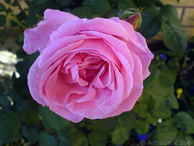 Pink rose photo. <i>(Family: Rosaceae, Species: Rosa)</i> <br>Photo Date: May 2008, Location: Turkey/Istanbul, By: Artislamic.com