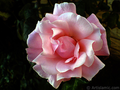 Pink rose photo. <i>(Family: Rosaceae, Species: Rosa)</i> <br>Photo Date: December 2008, Location: Turkey/Istanbul, By: Artislamic.com