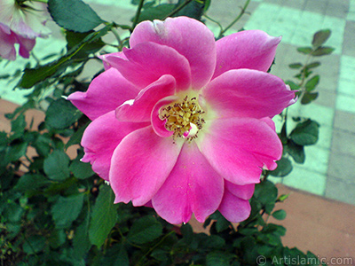 Pink rose photo. <i>(Family: Rosaceae, Species: Rosa)</i> <br>Photo Date: October 2009, Location: Turkey/Istanbul-Uskudar, By: Artislamic.com
