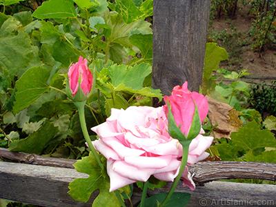 Pink rose photo. <i>(Family: Rosaceae, Species: Rosa)</i> <br>Photo Date: August 2008, Location: Turkey/Yalova-Termal, By: Artislamic.com