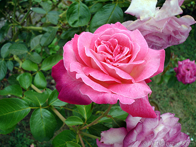 Pink rose photo. <i>(Family: Rosaceae, Species: Rosa)</i> <br>Photo Date: August 2008, Location: Turkey/Yalova-Termal, By: Artislamic.com