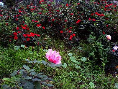 Pink rose photo. <i>(Family: Rosaceae, Species: Rosa)</i> <br>Photo Date: November 2008, Location: Turkey/Istanbul, By: Artislamic.com