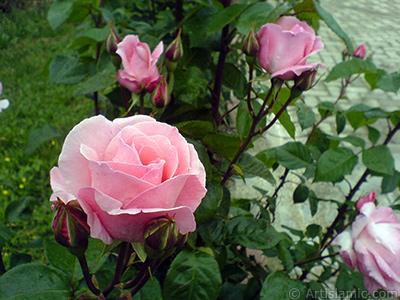 Yeni açan pembe güller ve tomurcukların resmi. <i>(Ailesi: Rosaceae, Türü: Rosa)</i> <br>Çekim Tarihi: Mayıs 2007, Yer: Tekirdağ, Fotoğraf: islamiSanat.net