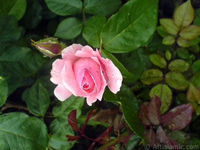 Pink rose photo. <i>(Family: Rosaceae, Species: Rosa)</i> <br>Photo Date: May 2007, Location: Turkey/Tekirdag, By: Artislamic.com