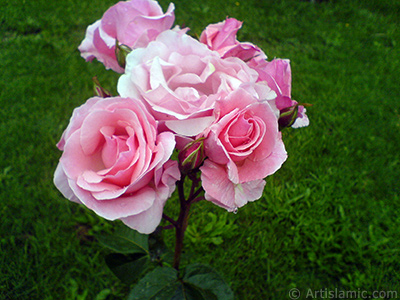 Pink rose photo. <i>(Family: Rosaceae, Species: Rosa)</i> <br>Photo Date: May 2007, Location: Turkey/Tekirdag, By: Artislamic.com
