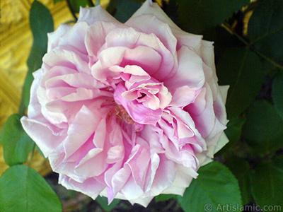 Pink rose photo. <i>(Family: Rosaceae, Species: Rosa)</i> <br>Photo Date: May 2007, Location: Turkey/Sakarya, By: Artislamic.com