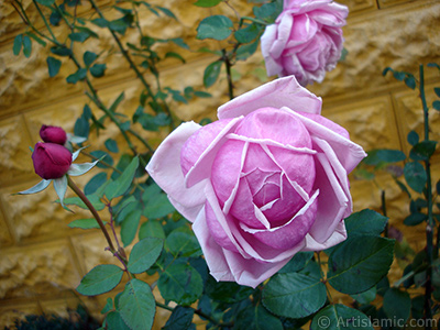 Pink rose photo. <i>(Family: Rosaceae, Species: Rosa)</i> <br>Photo Date: November 2007, Location: Turkey/Sakarya, By: Artislamic.com