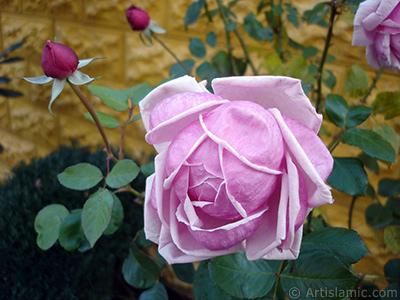 Pembe gül resmi. <i>(Ailesi: Rosaceae, Türü: Rosa)</i> <br>Çekim Tarihi: Kasım 2007, Yer: Sakarya, Fotoğraf: islamiSanat.net
