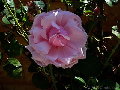 Pembe gül resmi. <i>(Ailesi: Rosaceae, Türü: Rosa)</i> <br>Çekim Tarihi: Ağustos 2007, Yer: Sakarya, Fotoğraf: islamiSanat.net