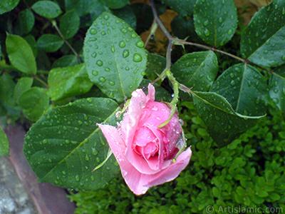 Pembe gül resmi. <i>(Ailesi: Rosaceae, Türü: Rosa)</i> <br>Çekim Tarihi: Mayıs 2007, Yer: Sakarya, Fotoğraf: islamiSanat.net