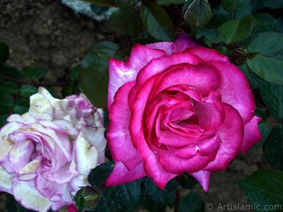 Pembe gül resmi. <i>(Ailesi: Rosaceae, Türü: Rosa)</i> <br>Çekim Tarihi: Haziran 2006, Yer: Tekirdağ, Fotoğraf: islamiSanat.net