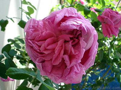 Pembe gül resmi. <i>(Ailesi: Rosaceae, Türü: Rosa)</i> <br>Çekim Tarihi: Mayıs 2006, Yer: İstanbul, Fotoğraf: islamiSanat.net