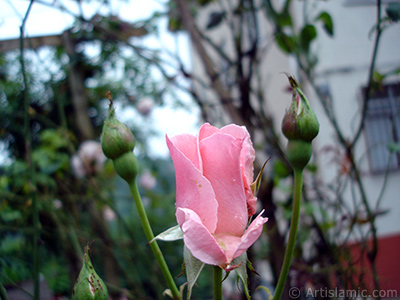 Pembe gül resmi. <i>(Ailesi: Rosaceae, Türü: Rosa)</i> <br>Çekim Tarihi: Temmuz 2005, Yer: Trabzon, Fotoğraf: islamiSanat.net