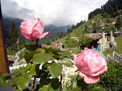 Pembe gül resmi. <i>(Ailesi: Rosaceae, Türü: Rosa)</i> <br>Çekim Tarihi: Haziran 2005, Yer: Trabzon, Fotoğraf: islamiSanat.net