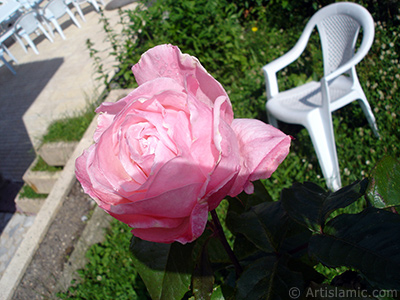 Pink rose photo. <i>(Family: Rosaceae, Species: Rosa)</i> <br>Photo Date: June 2005, Location: Turkey/Trabzon, By: Artislamic.com