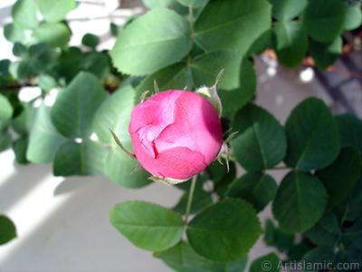 Pembe gül resmi. <i>(Ailesi: Rosaceae, Türü: Rosa)</i> <br>Çekim Tarihi: Mayıs 2005, Yer: İstanbul, Fotoğraf: islamiSanat.net