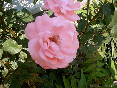 Pembe gül resmi. <i>(Ailesi: Rosaceae, Türü: Rosa)</i> <br>Çekim Tarihi: Ocak 2002, Yer: Bursa, Fotoğraf: islamiSanat.net