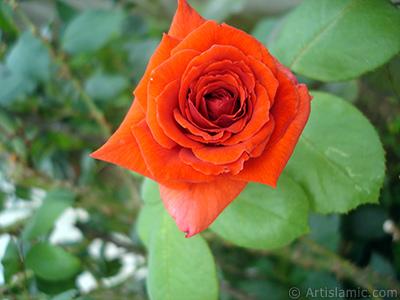Red rose photo. <i>(Family: Rosaceae, Species: Rosa)</i> <br>Photo Date: August 2008, Location: Turkey/Yalova-Termal, By: Artislamic.com