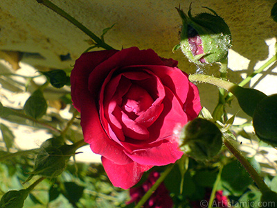 Red rose photo. <i>(Family: Rosaceae, Species: Rosa)</i> <br>Photo Date: May 2007, Location: Turkey/Sakarya, By: Artislamic.com