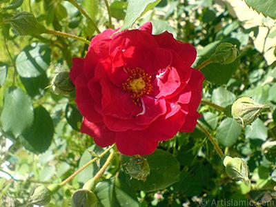 Red rose photo. <i>(Family: Rosaceae, Species: Rosa)</i> <br>Photo Date: May 2007, Location: Turkey/Sakarya, By: Artislamic.com