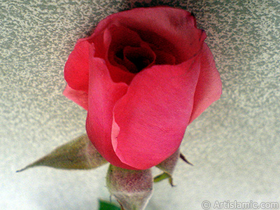 Red rose photo.