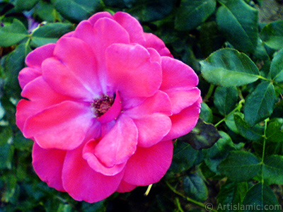 Red rose photo. <i>(Family: Rosaceae, Species: Rosa)</i> <br>Photo Date: October 2006, Location: Turkey/Istanbul-Mother`s Flowers, By: Artislamic.com