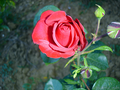 Red rose photo. <i>(Family: Rosaceae, Species: Rosa)</i> <br>Photo Date: June 2006, Location: Turkey/Tekirdag, By: Artislamic.com