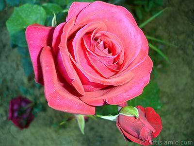 Red rose photo. <i>(Family: Rosaceae, Species: Rosa)</i> <br>Photo Date: June 2006, Location: Turkey/Tekirdag, By: Artislamic.com