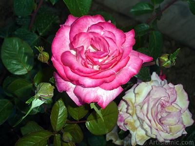 Kırmızı gül resmi. <i>(Ailesi: Rosaceae, Türü: Rosa)</i> <br>Çekim Tarihi: Haziran 2006, Yer: Tekirdağ, Fotoğraf: islamiSanat.net