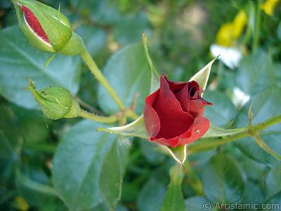 Kırmızı gül resmi. <i>(Ailesi: Rosaceae, Türü: Rosa)</i> <br>Çekim Tarihi: Mayıs 2005, Yer: İstanbul, Fotoğraf: islamiSanat.net