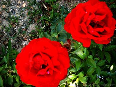 Red rose photo. <i>(Family: Rosaceae, Species: Rosa)</i> <br>Photo Date: January 2002, Location: Turkey/Bursa, By: Artislamic.com