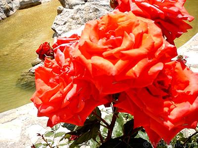 Kırmızı gül resmi. <i>(Ailesi: Rosaceae, Türü: Rosa)</i> <br>Çekim Tarihi: Ocak 2002, Yer: İstanbul-Üsküdar, Fotoğraf: islamiSanat.net