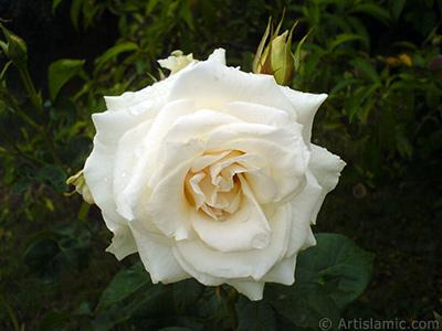 Beyaz gül resmi. <i>(Ailesi: Rosaceae, Türü: Rosa)</i> <br>Çekim Tarihi: Mayıs 2007, Yer: Tekirdağ, Fotoğraf: islamiSanat.net