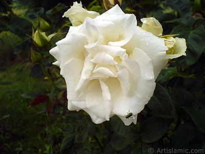 White rose photo. <i>(Family: Rosaceae, Species: Rosa)</i> <br>Photo Date: May 2007, Location: Turkey/Tekirdag, By: Artislamic.com