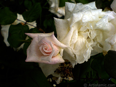 White rose photo. <i>(Family: Rosaceae, Species: Rosa)</i> <br>Photo Date: May 2007, Location: Turkey/Tekirdag, By: Artislamic.com