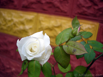 White rose photo. <i>(Family: Rosaceae, Species: Rosa)</i> <br>Photo Date: November 2007, Location: Turkey/Sakarya, By: Artislamic.com
