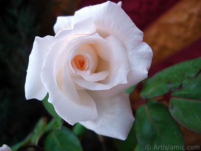 Beyaz gül resmi. <i>(Ailesi: Rosaceae, Türü: Rosa)</i> <br>Çekim Tarihi: Kasım 2007, Yer: Sakarya, Fotoğraf: islamiSanat.net