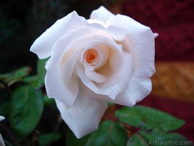 White rose photo. <i>(Family: Rosaceae, Species: Rosa)</i> <br>Photo Date: November 2007, Location: Turkey/Sakarya, By: Artislamic.com