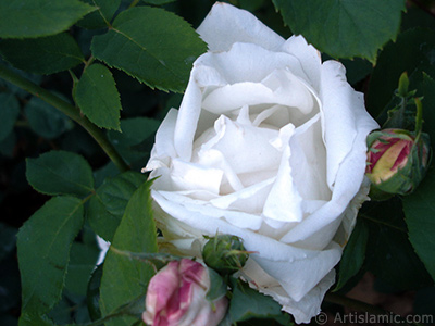 White rose photo. <i>(Family: Rosaceae, Species: Rosa)</i> <br>Photo Date: June 2006, Location: Turkey/Tekirdag, By: Artislamic.com