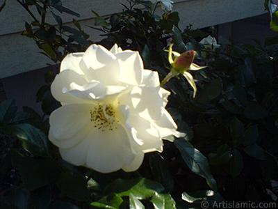 White rose photo. <i>(Family: Rosaceae, Species: Rosa)</i> <br>Photo Date: December 2006, Location: Turkey/Balıkesir-Altınoluk, By: Artislamic.com