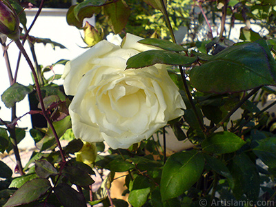 White rose photo.