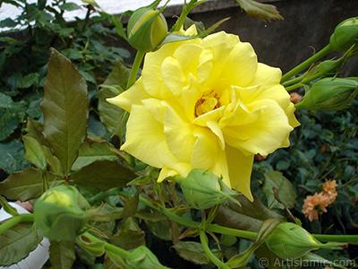 Sarı gül resmi. <i>(Ailesi: Rosaceae, Türü: Rosa)</i> <br>Çekim Tarihi: Ağustos 2008, Yer: Yalova-Termal, Fotoğraf: islamiSanat.net