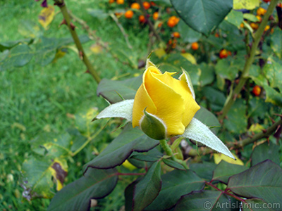 Yellow rose photo. <i>(Family: Rosaceae, Species: Rosa)</i> <br>Photo Date: August 2008, Location: Turkey/Yalova-Termal, By: Artislamic.com