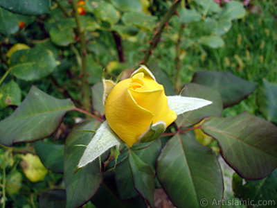 Yellow rose photo. <i>(Family: Rosaceae, Species: Rosa)</i> <br>Photo Date: August 2008, Location: Turkey/Yalova-Termal, By: Artislamic.com