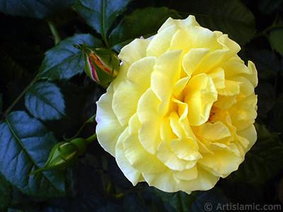 Sarı gül resmi. <i>(Ailesi: Rosaceae, Türü: Rosa)</i> <br>Çekim Tarihi: Mayıs 2010, Yer: İstanbul, Fotoğraf: islamiSanat.net
